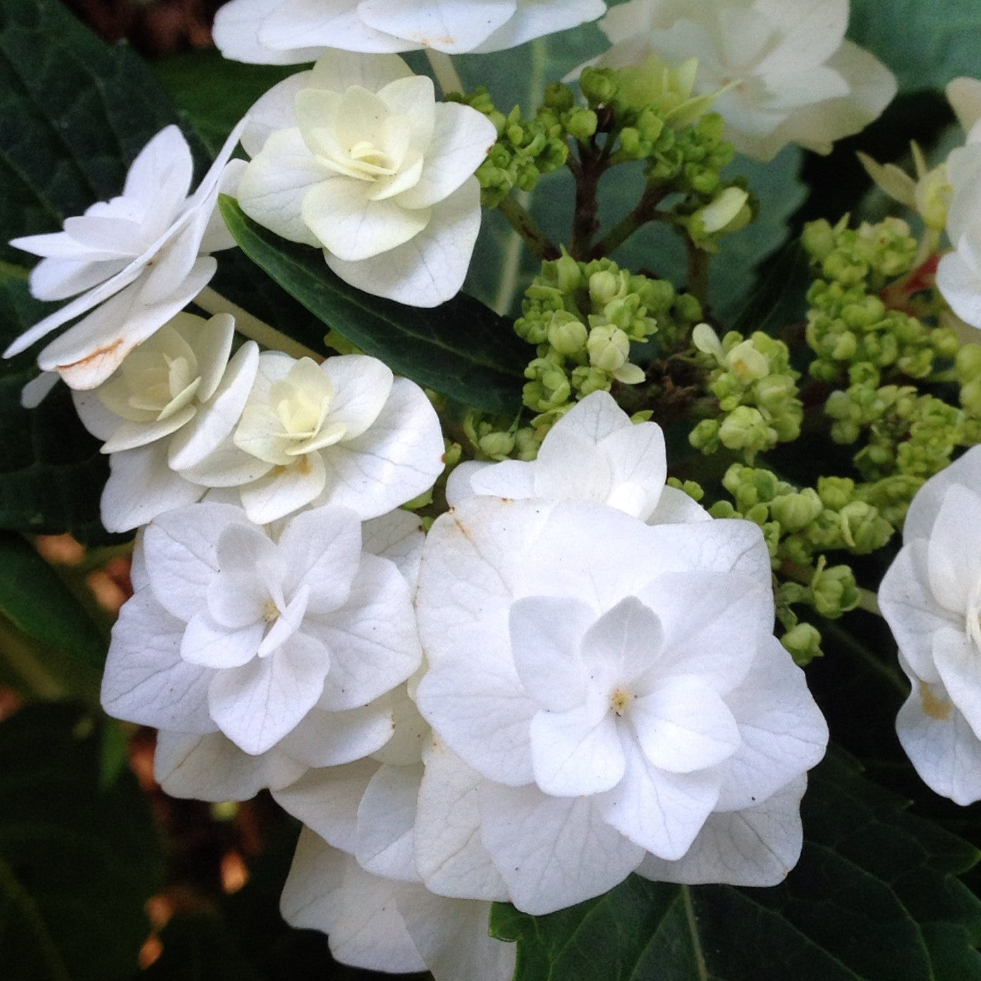 Double Delights™ Wedding Gown Hydrangea