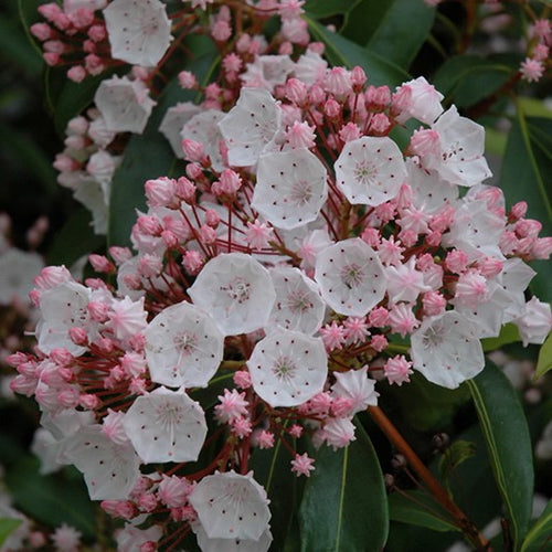Elf Mountain Laurel