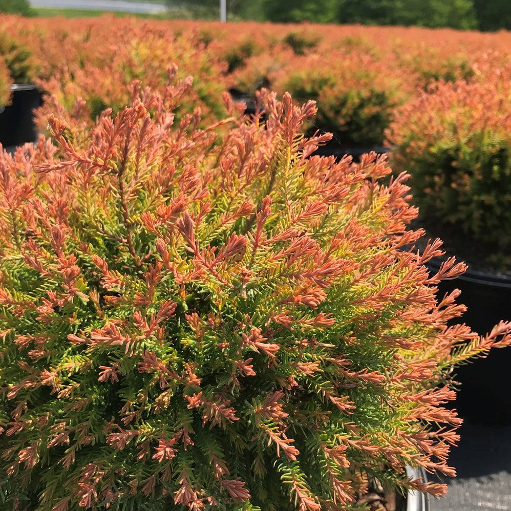 Fire Chief Arborvitae