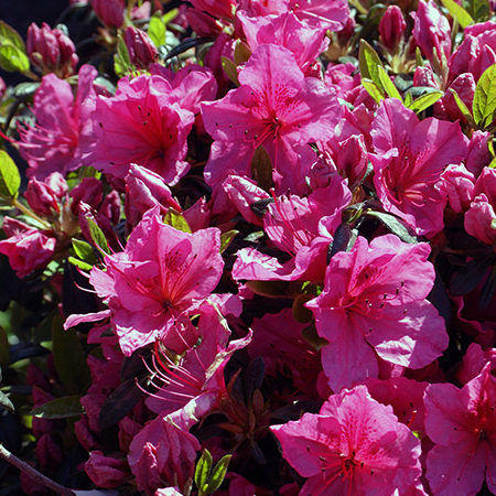 Girard's Renee Michelle Azalea- 3 gallon