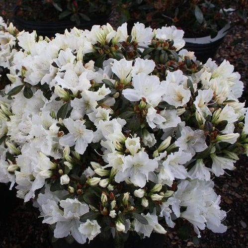Gumpo White Azalea- 3 gallon