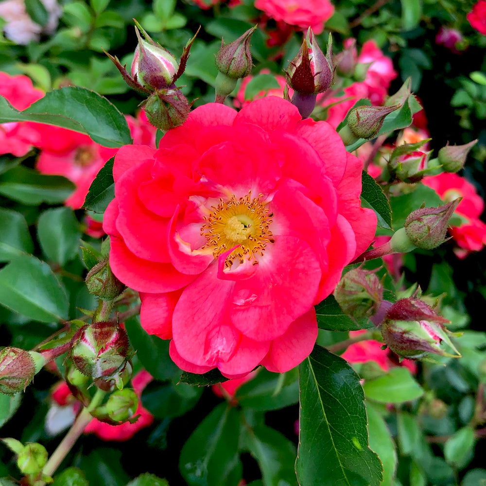 Coral Drift® Rose