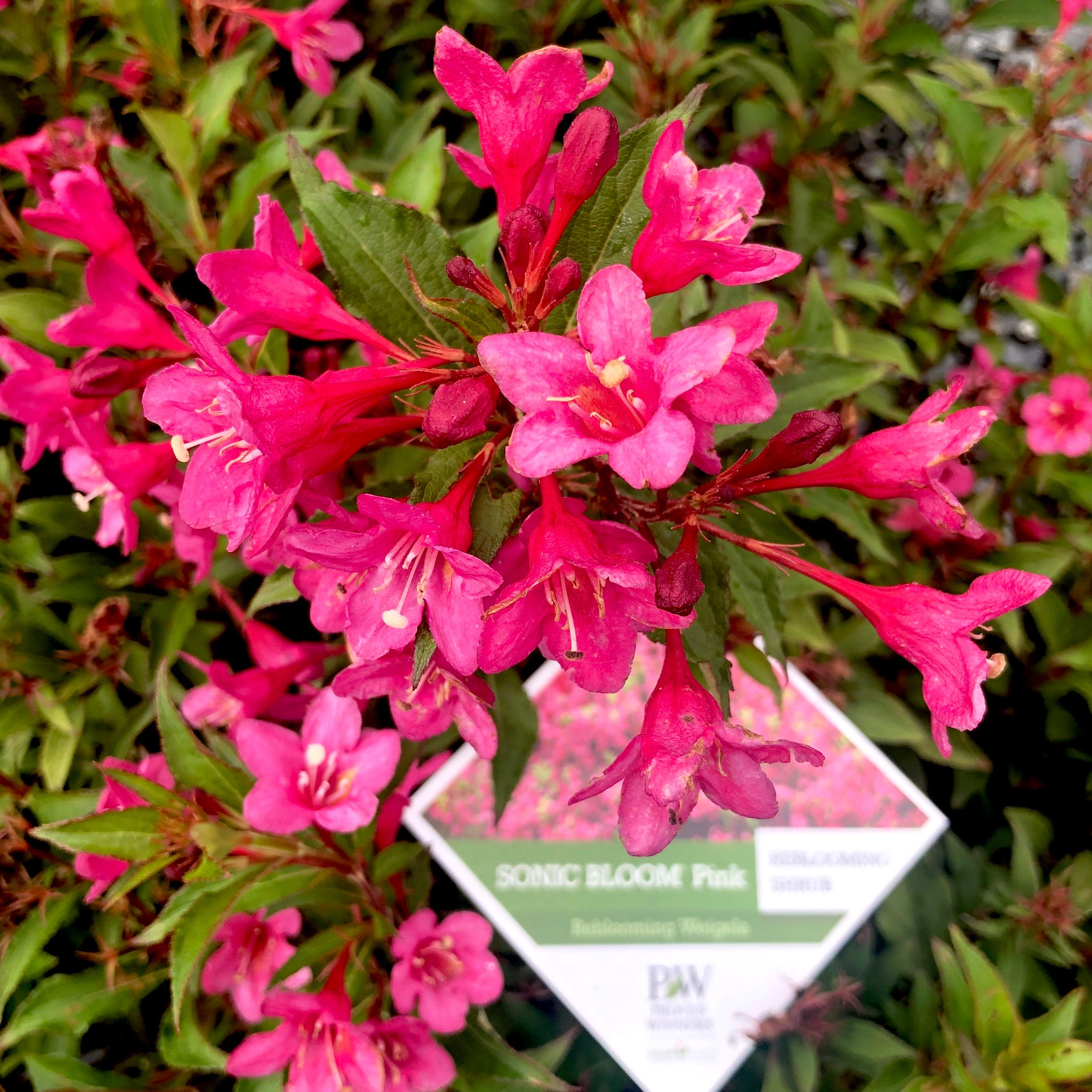 Sonic Bloom® Pink Weigela