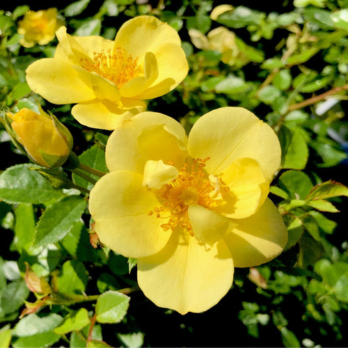 Oso Easy Lemon Zest® Rose