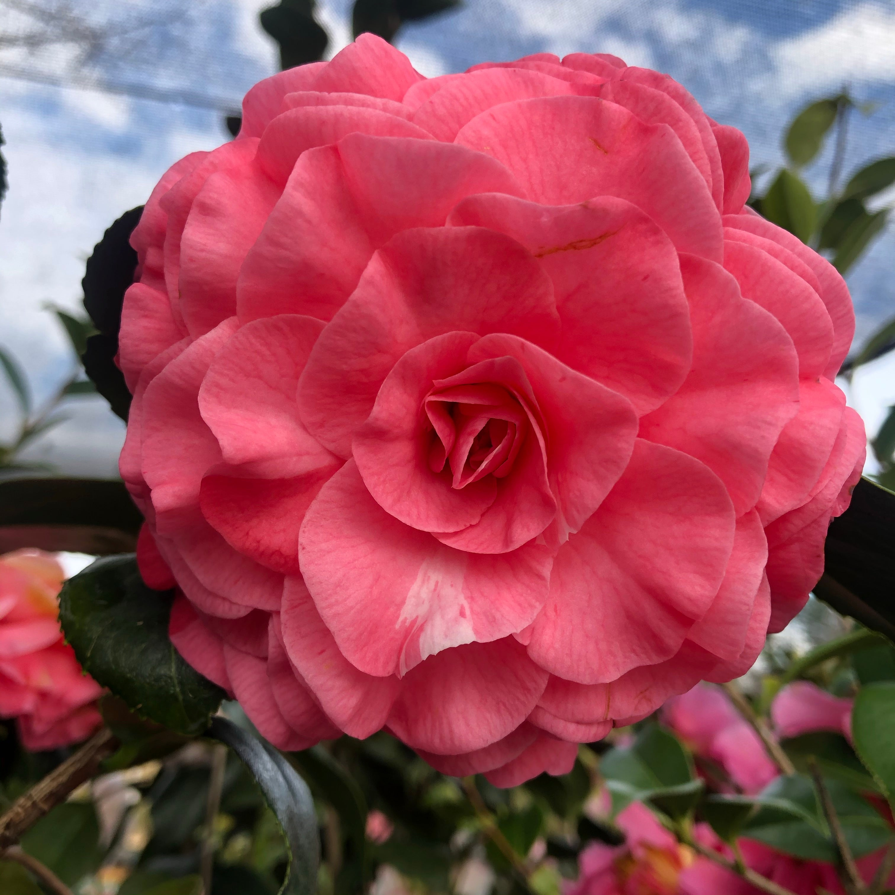 In the Pink Camellia