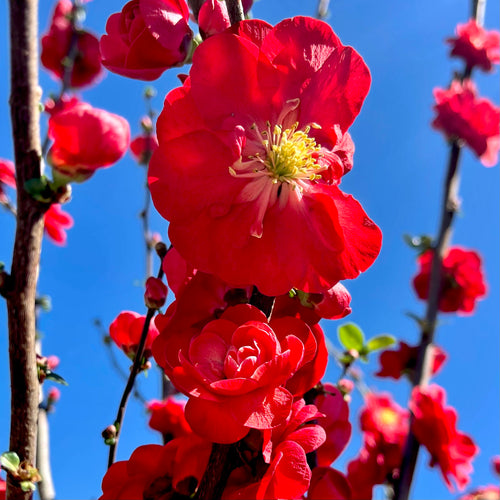 Double Take™ Scarlet Storm Quince