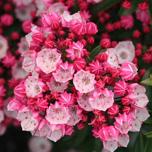Little Linda Mountain Laurel