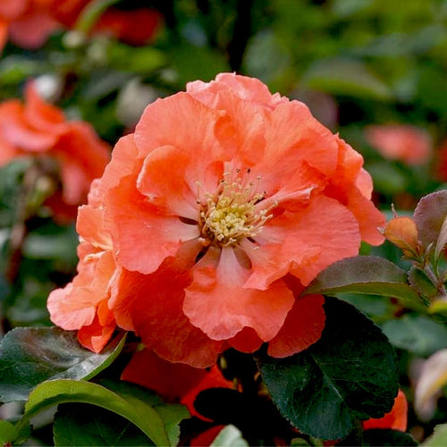 Double Take™ Peach Storm Quince