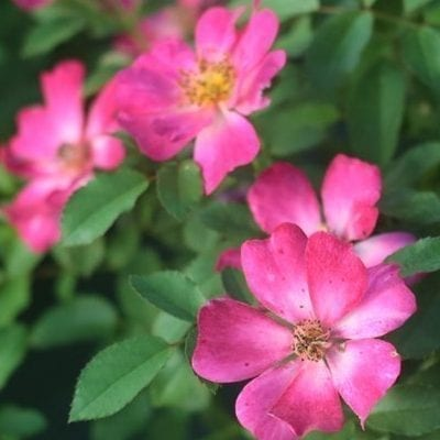 Pink Drift® Rose