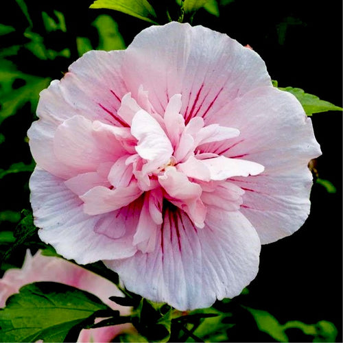 Pink Chiffon® Hibiscus 'Rose of Sharon'