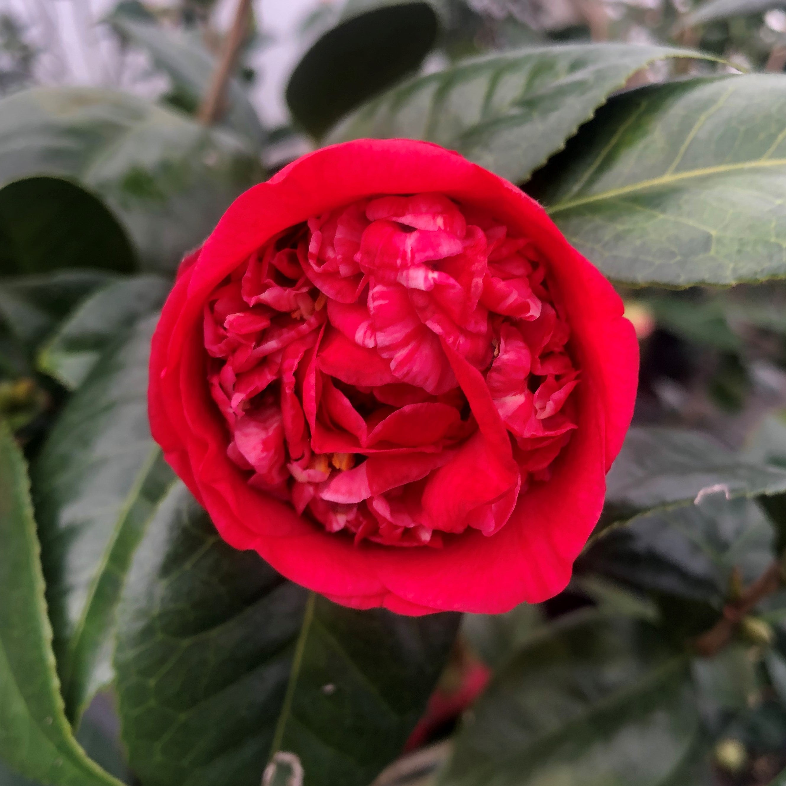 Red Fellow Camellia