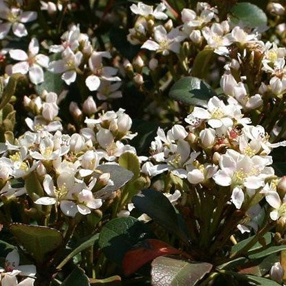 Snowcap® Indian Hawthorne