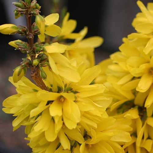 Show Off® Starlet Forsythia