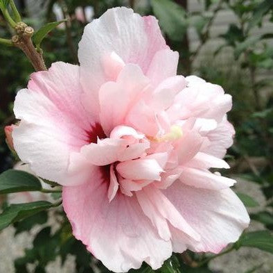 Strawberry Smoothie™ Hibiscus 'Rose of Sharon'