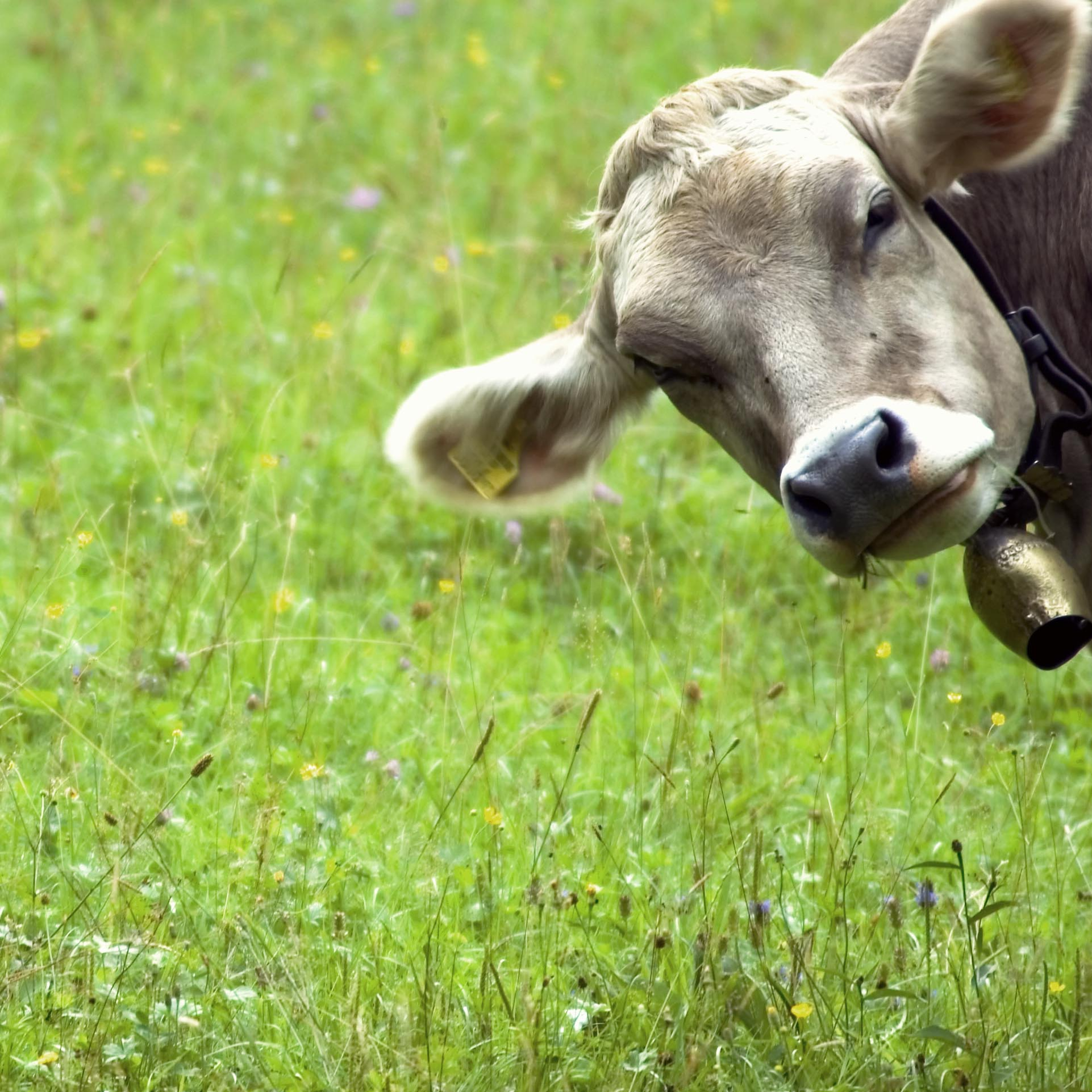 Grass Fed Cows Produce Superior Whey Proteins