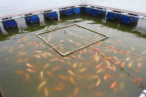 Fish Farm, Farm-Raised vs. Wild-Caught Fish: What's the Difference?