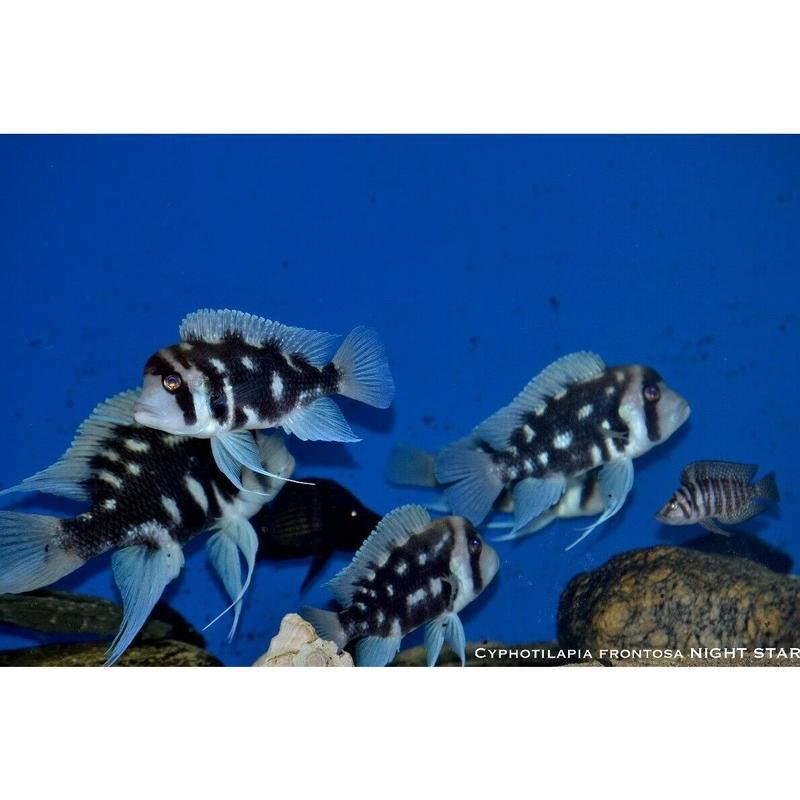 Cyphotilapia frontosa NIGHT STAR 5-6 cm (4607533416497)
