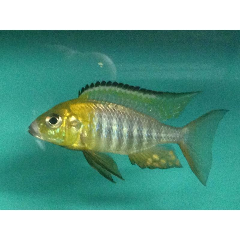 Aulonocara chitande Nkatha Bay yellow head 8-10 cm (4501655650353)