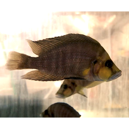 Altolamprologus compressiceps gold head Kasanga 9-12 cm (4497815273521)