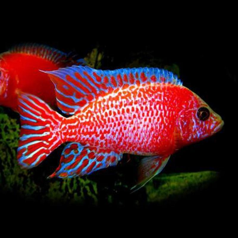 Aulonocara spec, Red dragon 6-9 cm (4460431638577)