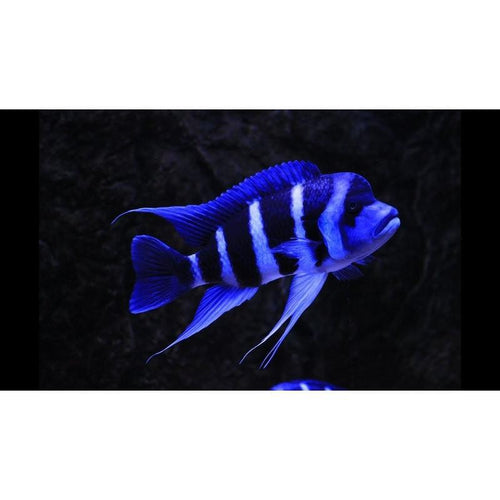 Cyphotilapia frontosa blue Zaire Moba 4-5 cm (4491379081265)