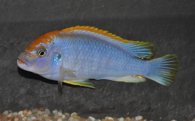 Pseudotropheus perspicax red top Ndumbi 4-6 cm (4482985525297)
