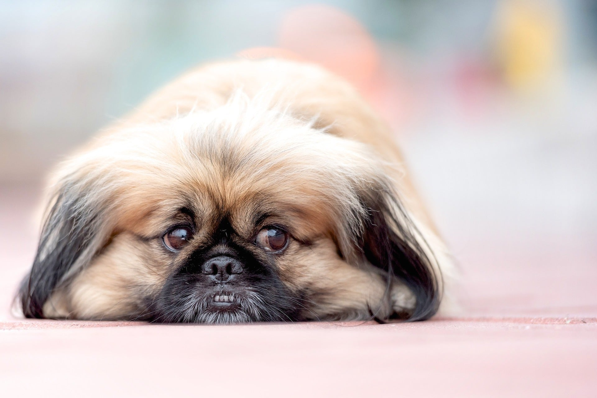 Brachycephalic Dogs: What makes them different?