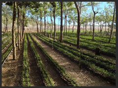 Guatemala Antigua Bourbon Coffee Seedlings