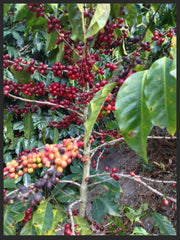 Ripe Coffee Cherries Guatemala Bourbon