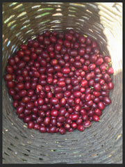 Harvest Bourbon Coffee Cherries, Santa Rosa Guatemalala
