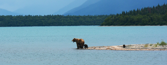 Grizley Bears on the Lake
