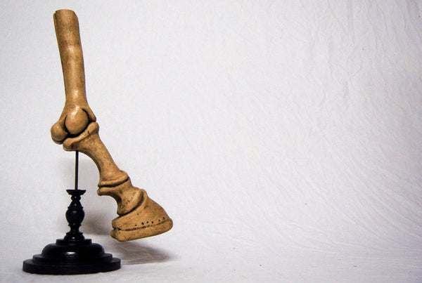 Anotomical Model of a Horses Leg in the Manner of Dr Auzoux with Ebonised Turned Base