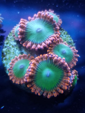 Oompa Loompa Zoanthid
