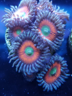 Pyscho Circus Zoanthid