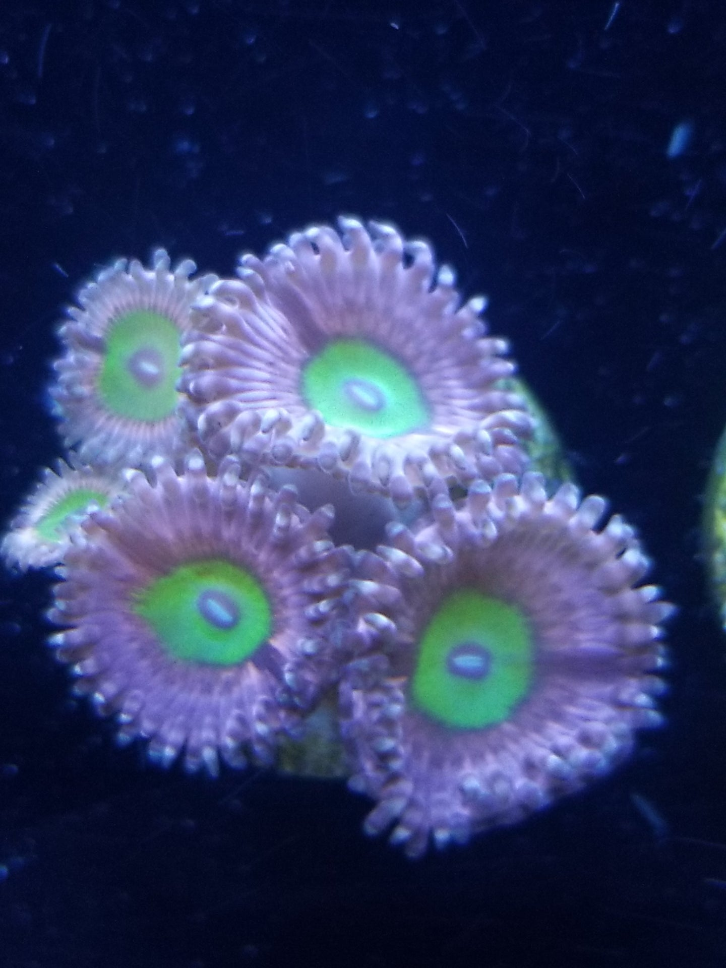 Chuckies Bride/Pink Hippos Zoanthid