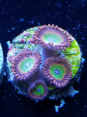 Candy Apple Red zoanthid