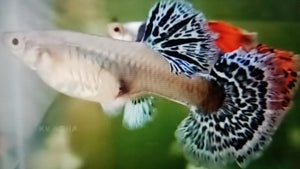 Mixed fancy guppy