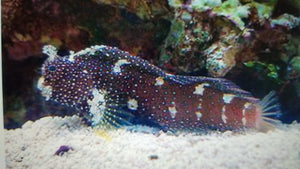 Blenny Starry