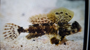 Blenny Scooter