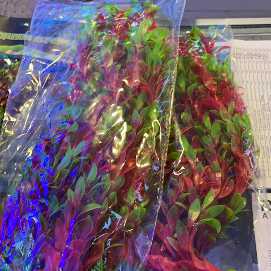 Red Ludwigia 20""