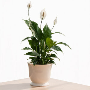 Indoor Green house plant