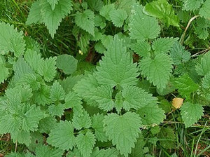 Natural Nordic fresh Nettle