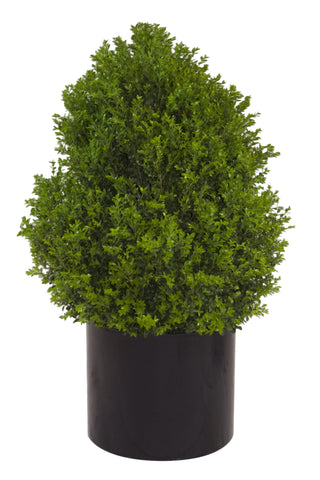 Upright Boxwood