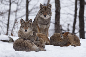 Chasse au coyote