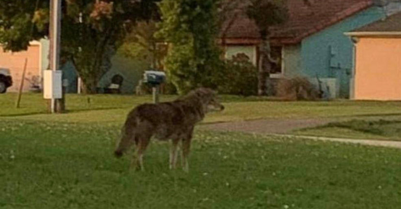 Increased coyote sightings, attack send neighborhood into a scare