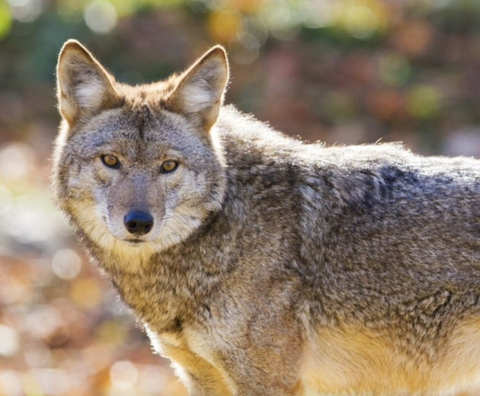 Dog's Death Could Be Second Fatal Coyote Attack Since December