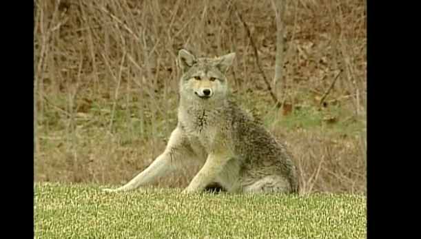 Cohasset residents fearful for kids, pets after coyote attacks on dogs