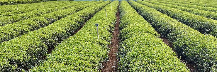 Competition Grade Wuyi Oolong Tea field