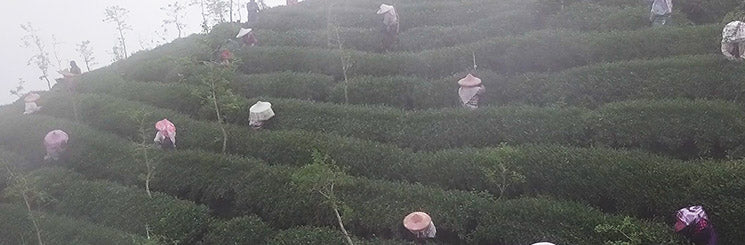 Shan Lin Xi high mountain tea harvest