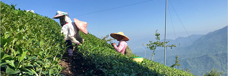 Shanlinxi High Mountain Oolong Tea harvest. Tea leaves being picked by hand. This tea is among the top 10 most famous teas in Taiwan.